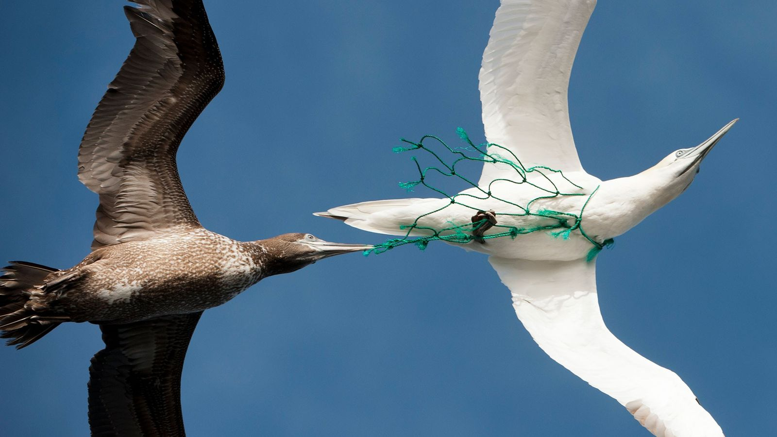 Sea birds like this one are suspectible to getting trapped by fishing nets. A new paper ...