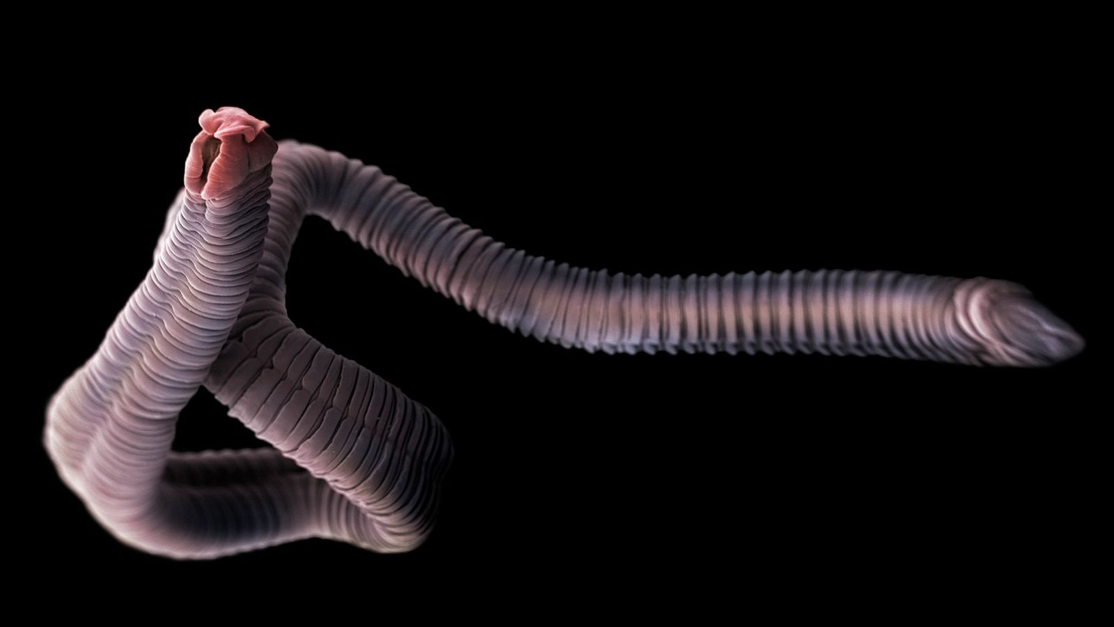 Tapeworms are parasites that live in the intestines of humans and animals, including many fish. They ...