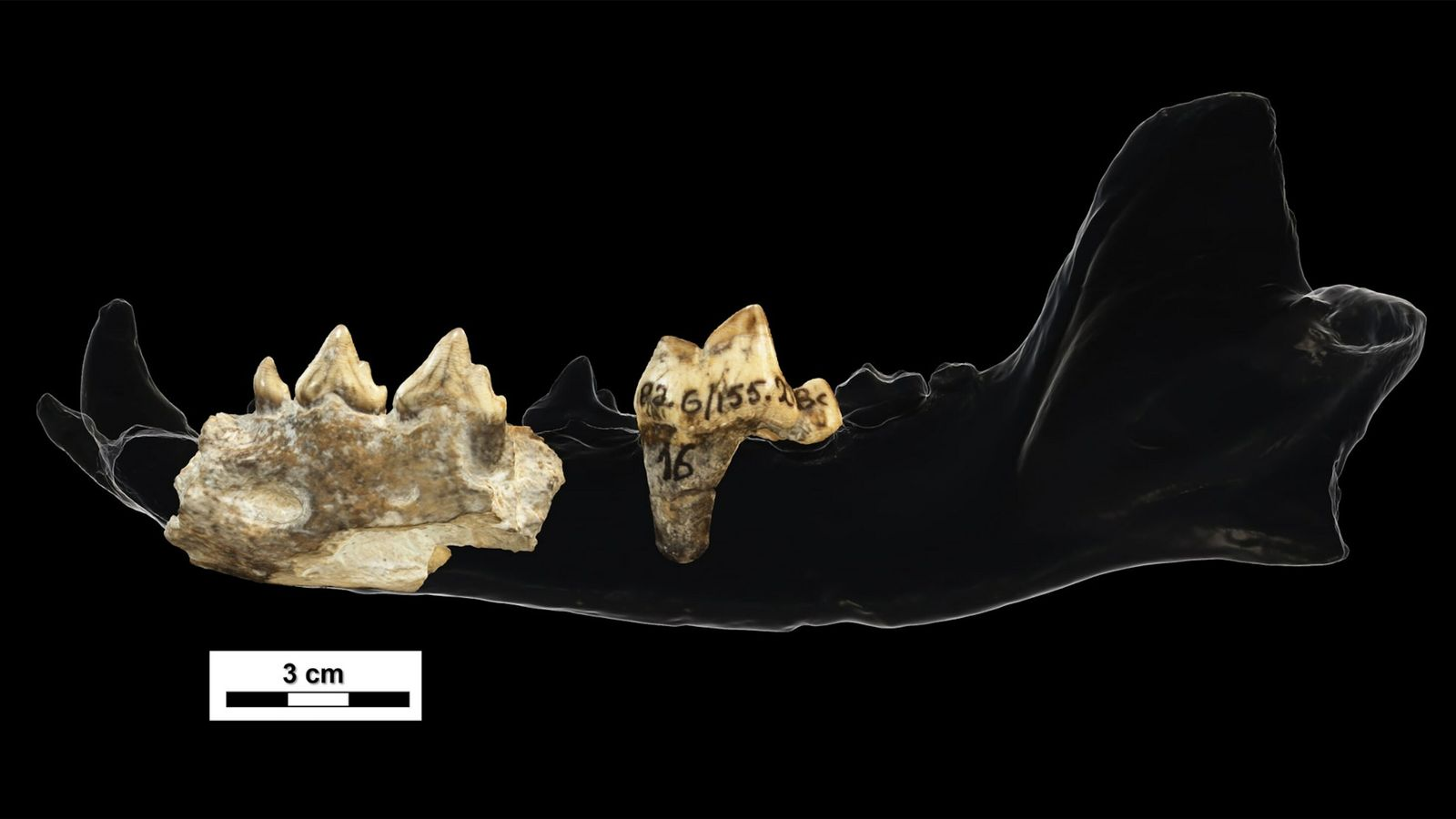These teeth and jaw fragments, found at Georgia's 1.8-million-year-old Dmanisi site, belong to an extinct canid ...