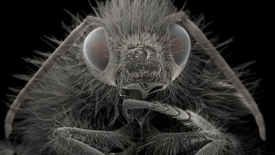 """Bumblebees """"are important agricultural pollinators,"""" Wiik-Nielsen says. The one shown here is magnified approximately 40 times."""