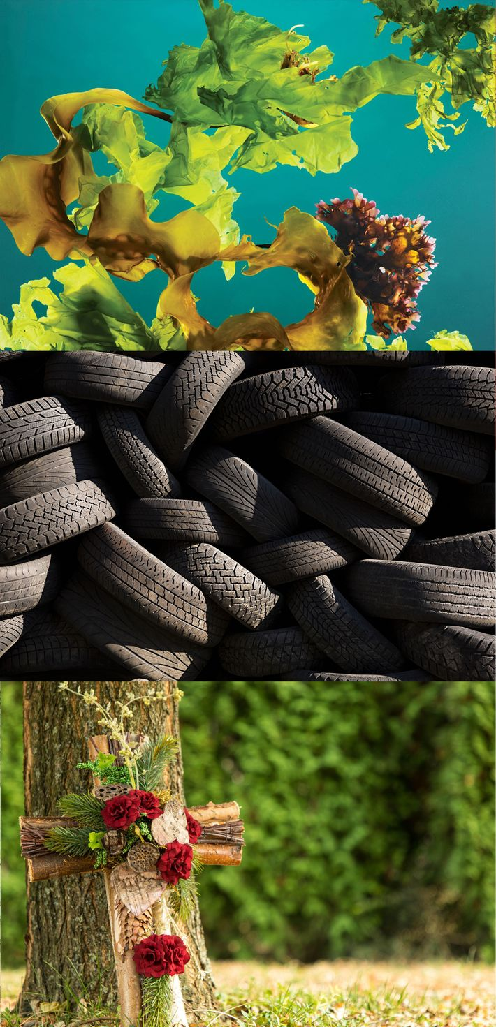 Kelp as a carbon locker, a sustainable replacement for tyres, and natural burial alternative: all ways ...
