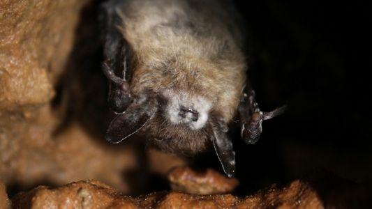 White-nose syndrome has devastated bats—but some are developing immunity