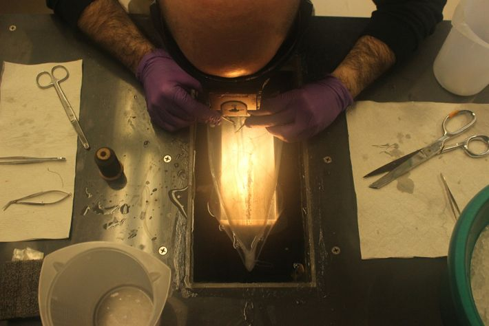 Longfin squid dissection at Woods Hole