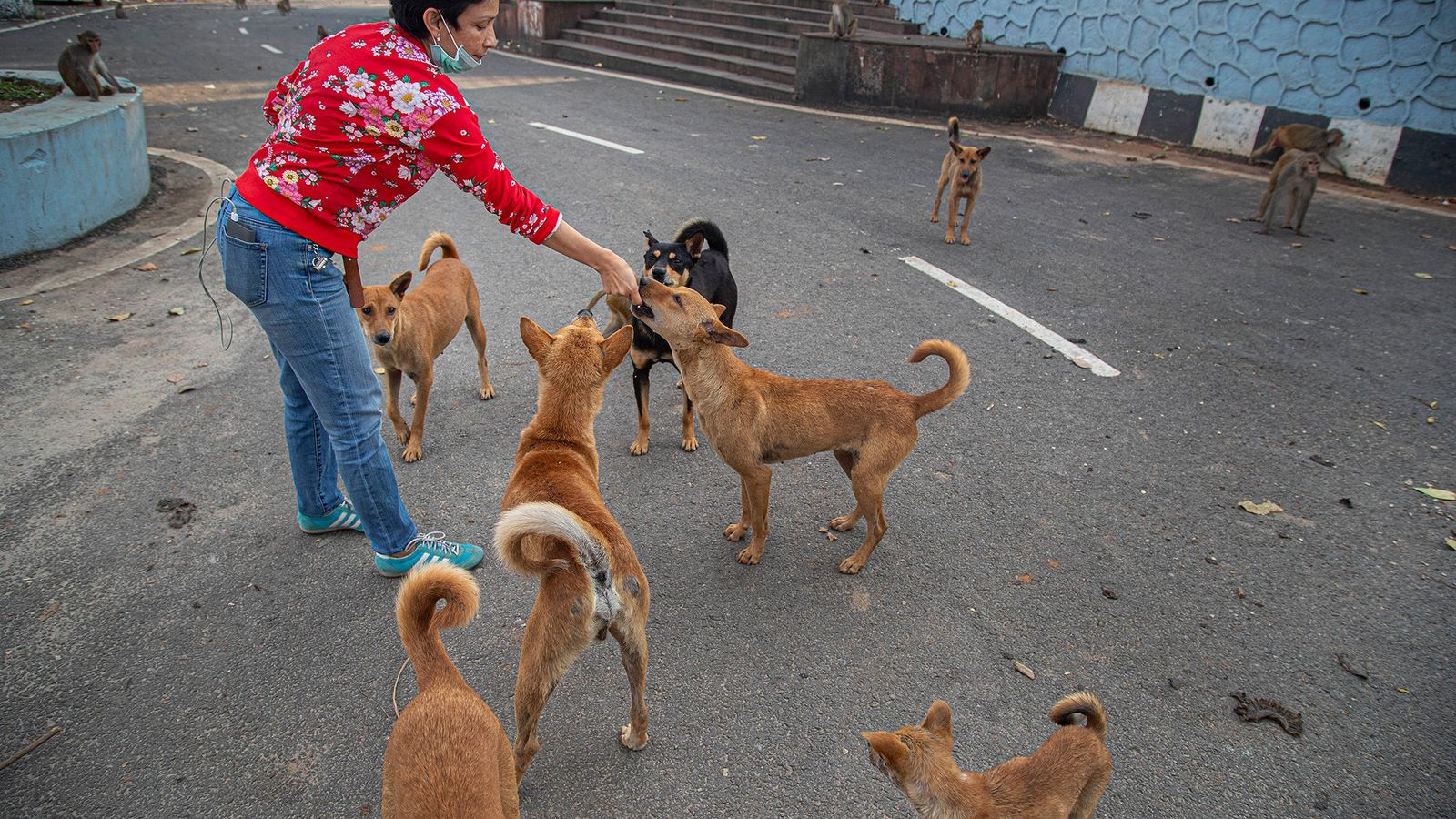 Indian social worker Oineetam Oza feeds stray dogs and monkeys biscuits near a Hindu temple in ...
