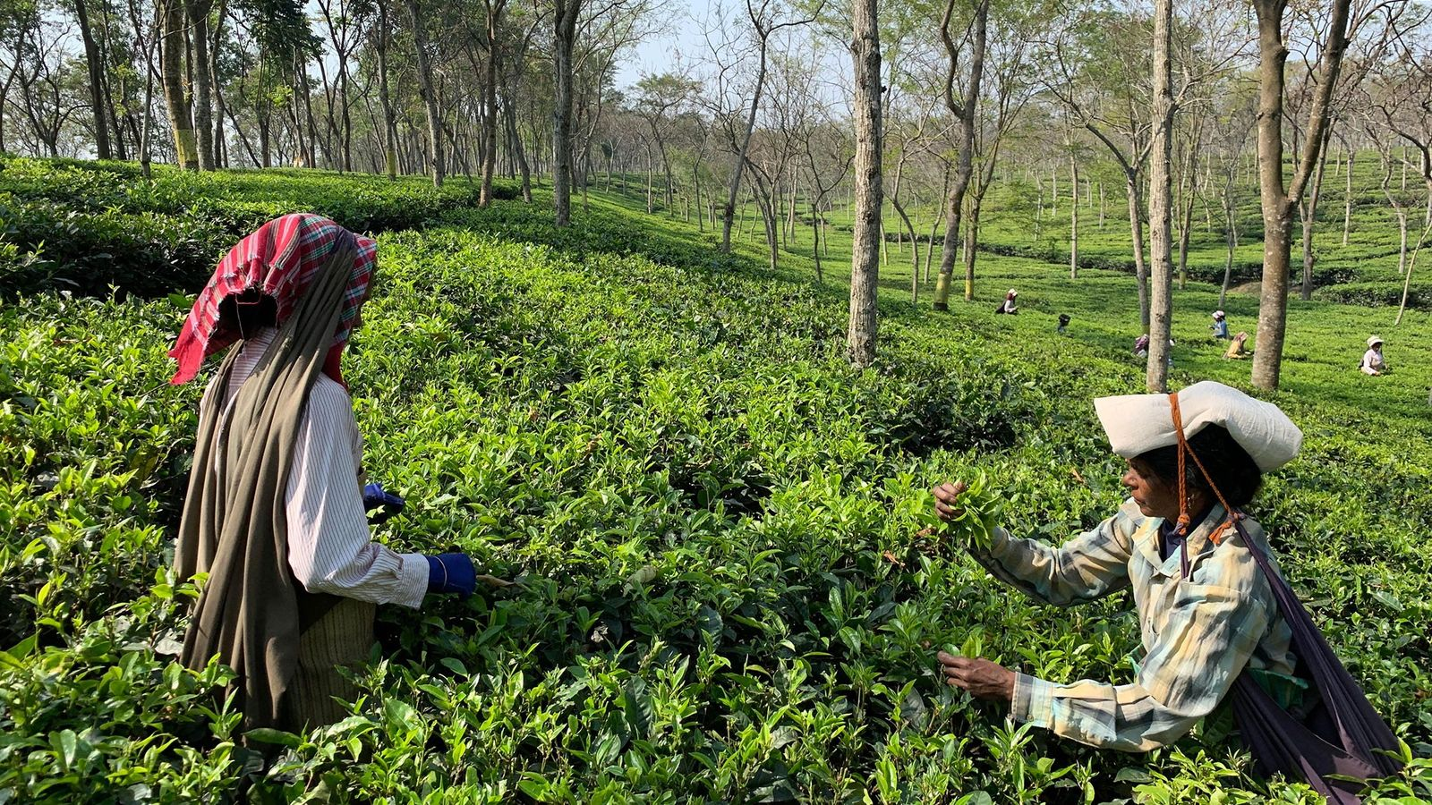 On tea plantations in West Bengal, women tea pickers are often preferred because of their reliability ...