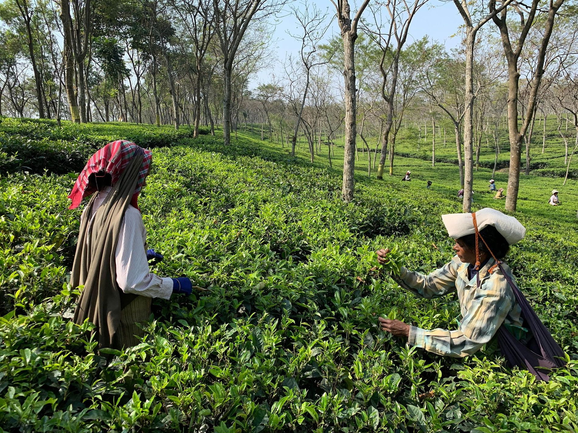 On tea plantations in West Bengal, women tea pickers are often preferred because of their reliability and care when selecting leaves.