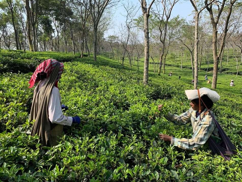 Leopards, elephants and cobras... the perils of picking tea