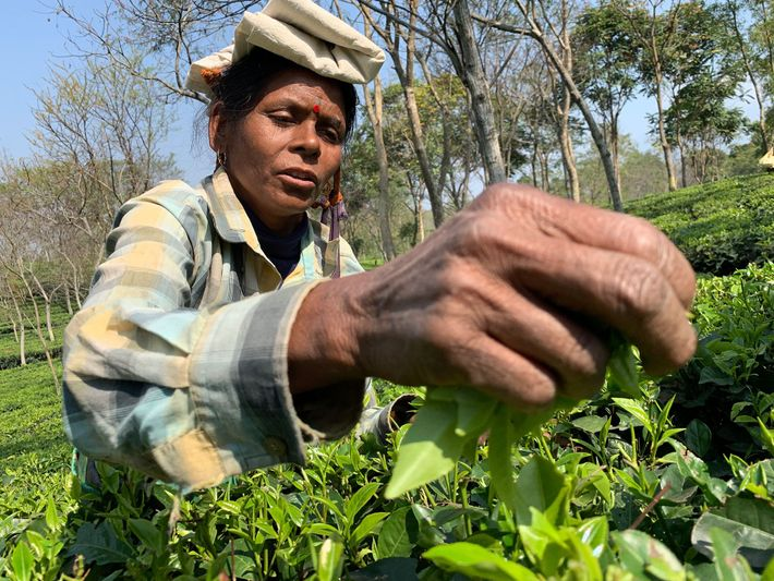 Lila Oraon, 40, has been picking tea for 25 years.