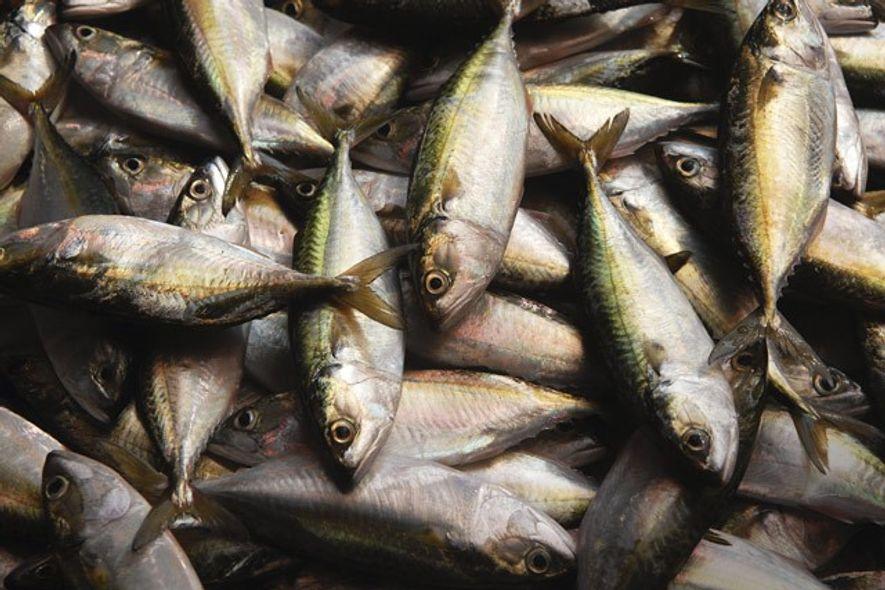 Locally fished mackerel