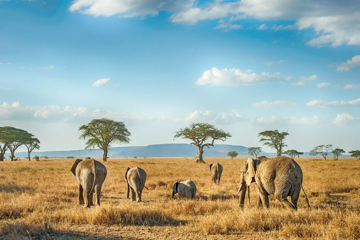 Elephants roam Tanzania's wildlife-rich savannahs.