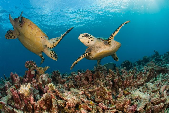 Hawksbill turtles on a reef in the Seychelles.