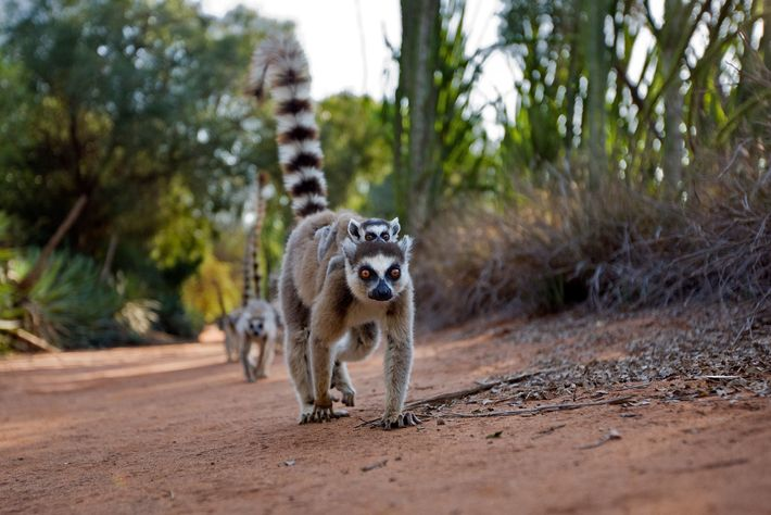 a ring-tailed lemur carries a baby on its back, Berenty Reserve, Madagascar.