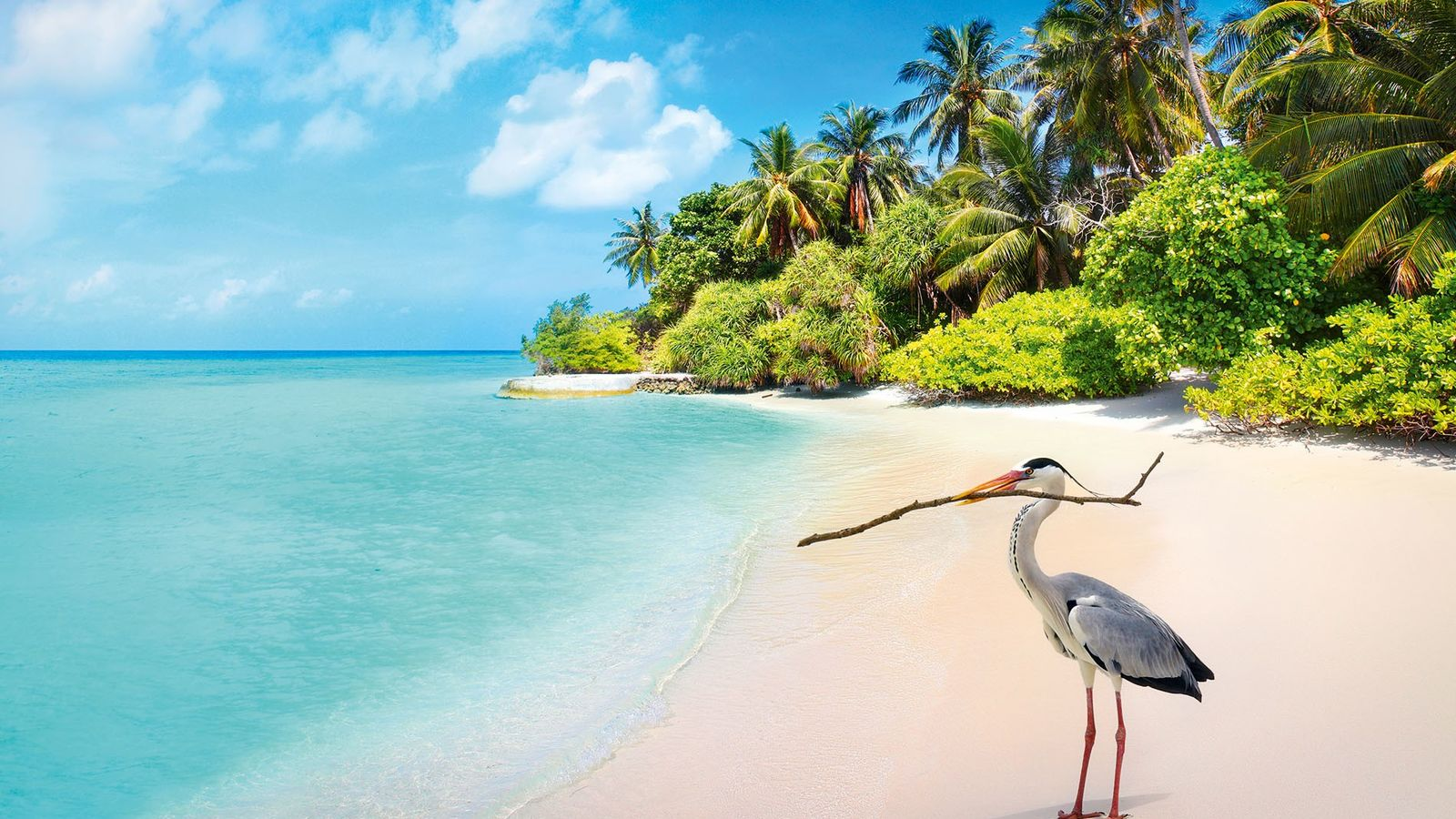 Grey heron on the beach at Bandos Island, the Maldives.