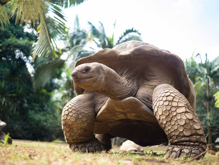 A giant tortoise ambling around in Île aux Aigrettes, Mauritius.