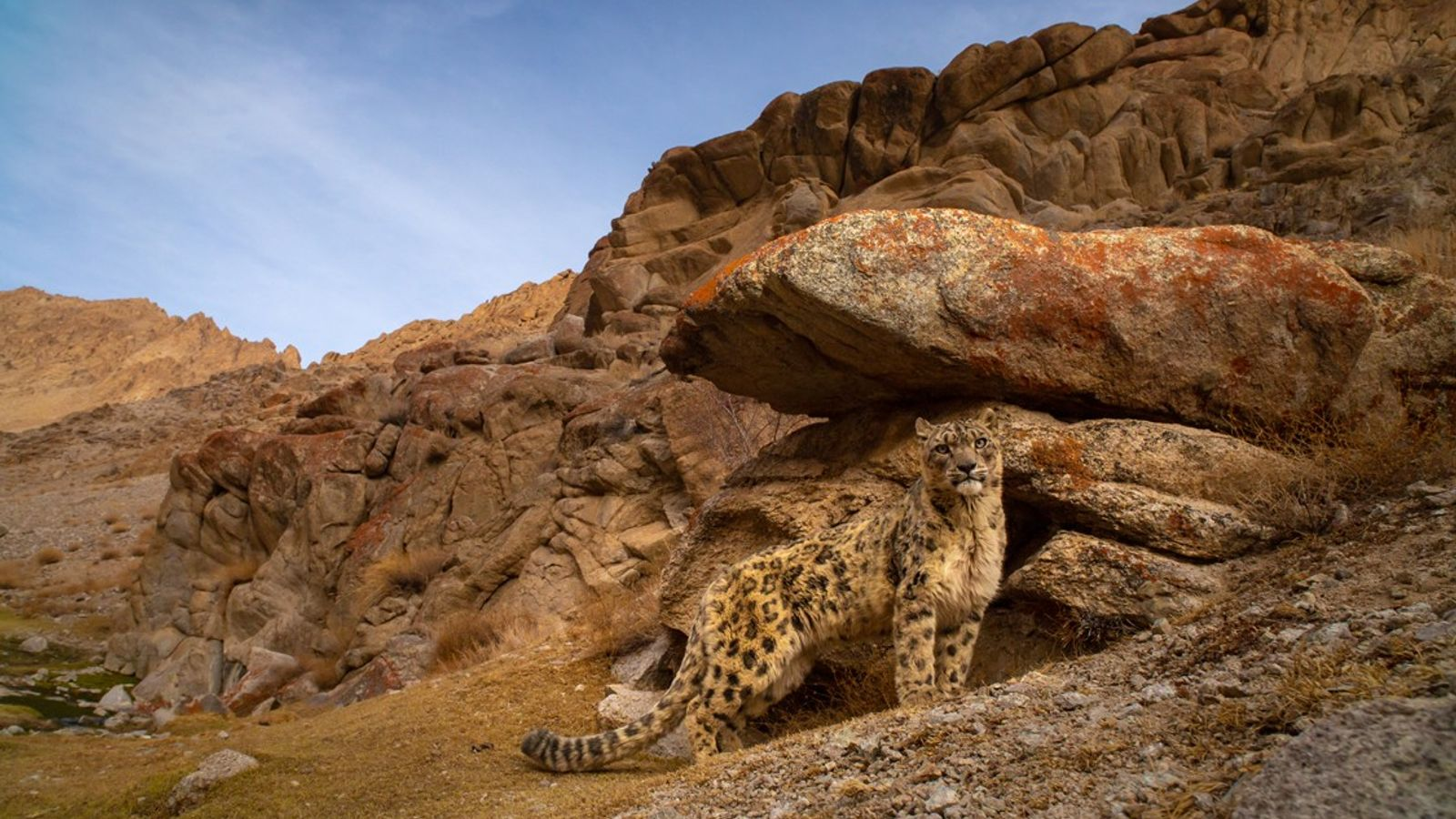 Famously elusive, the snow leopard is a burly big cat with a thick coat. It has ...