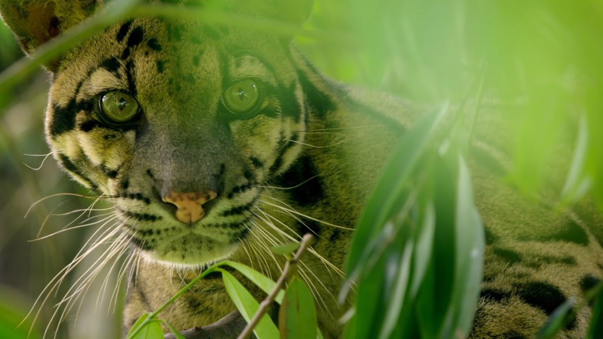 Clouded leopards are often said to be the link between big and small cats. Living their ...