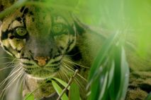 A clouded leopard peers from foliage, Northeast India. Reclusive big cats like this have become the ...