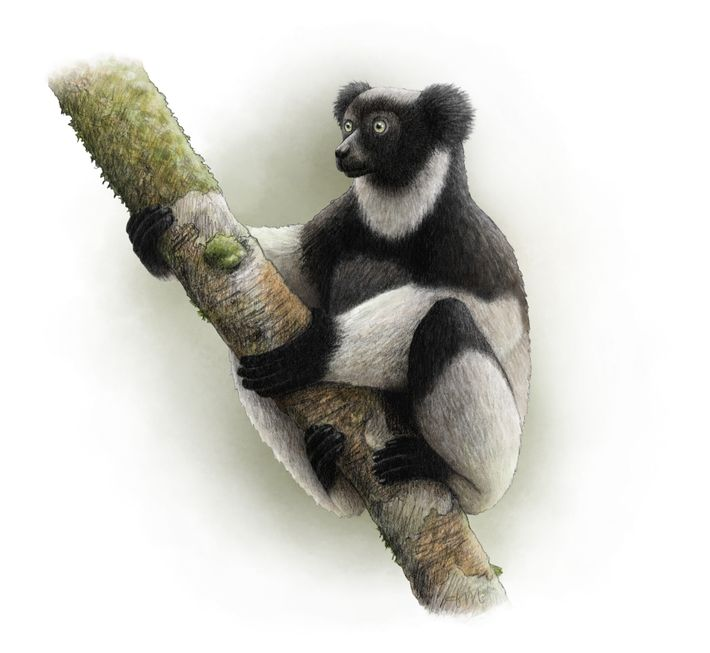 The critically endangered Indri indri is the world's largest lemur.