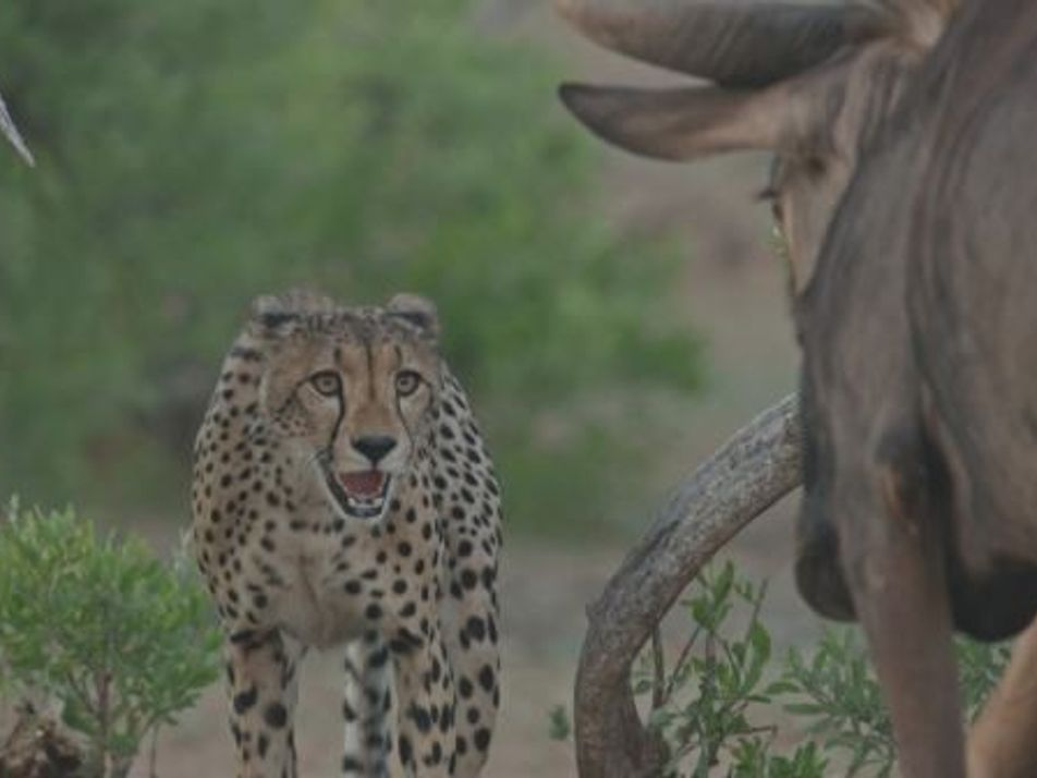 Inexperienced cheetahs try to hunt