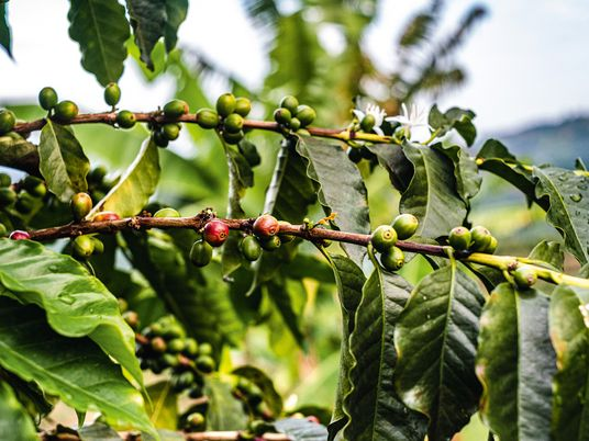 Photo story: from crop to cup in Colombia's Andean coffee region