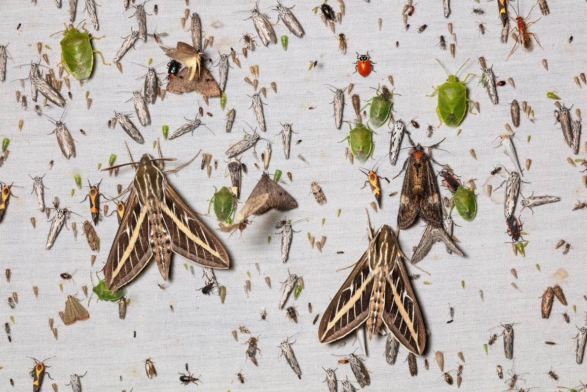 A light-flooded sheet in Arizona's Chiricahua Mountains is dominated by large white-lined sphinx moths and green ...