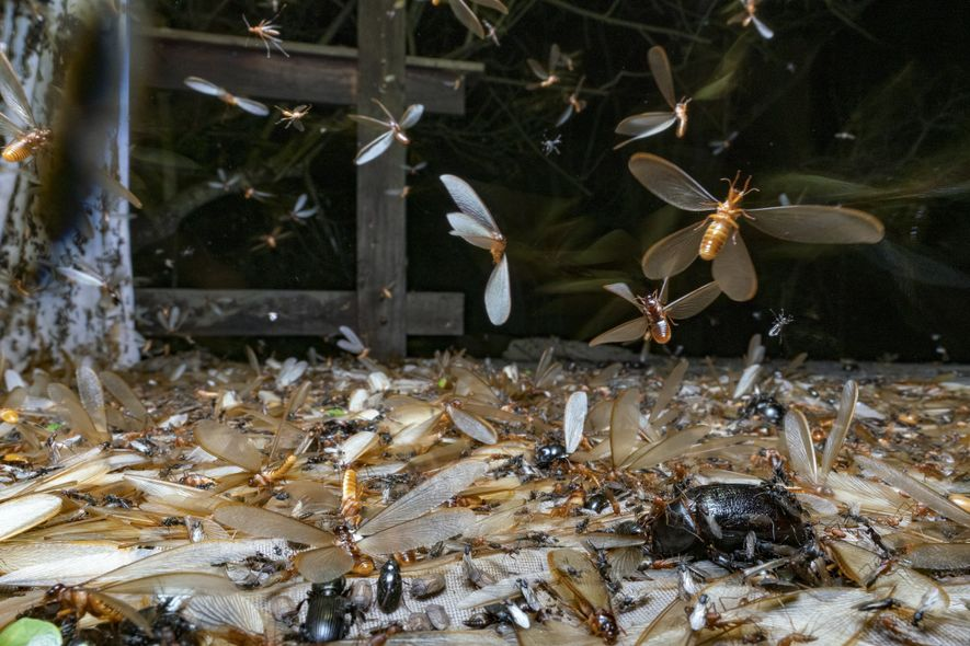 The first rains of the season in Gorongosa trigger epic swarms of the large termite Macrotermes ...