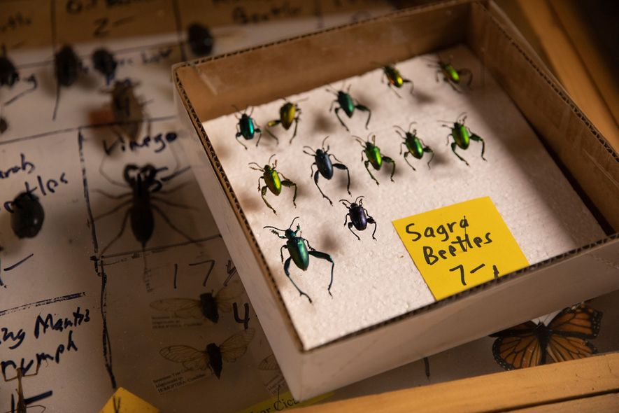 At vendor Bob Duff's booth at the Bug Fair, Sagra beetles, also called frog-legged leaf beetles, ...
