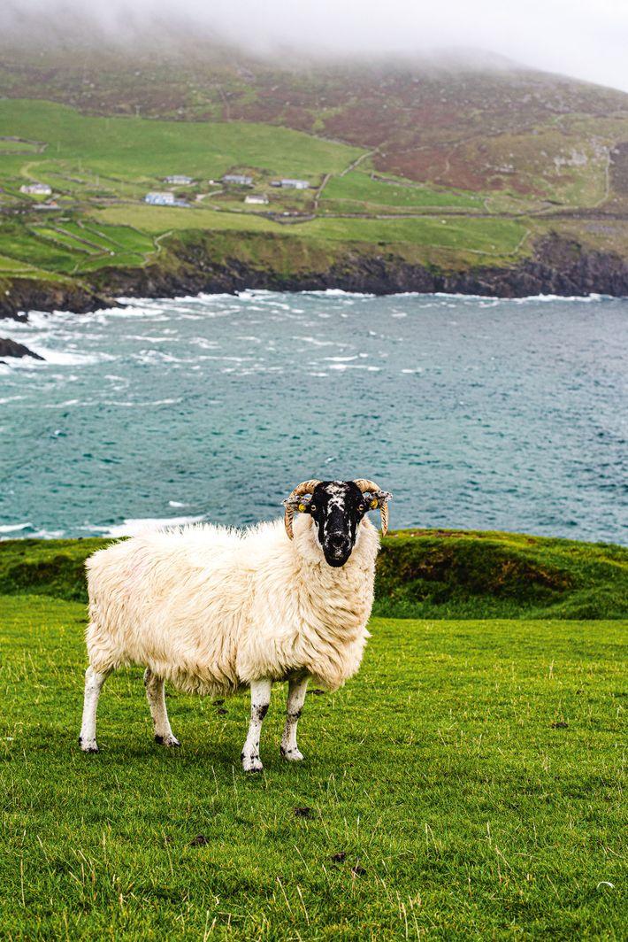 A ram in a coastal pasture, Dingle Peninsula.
