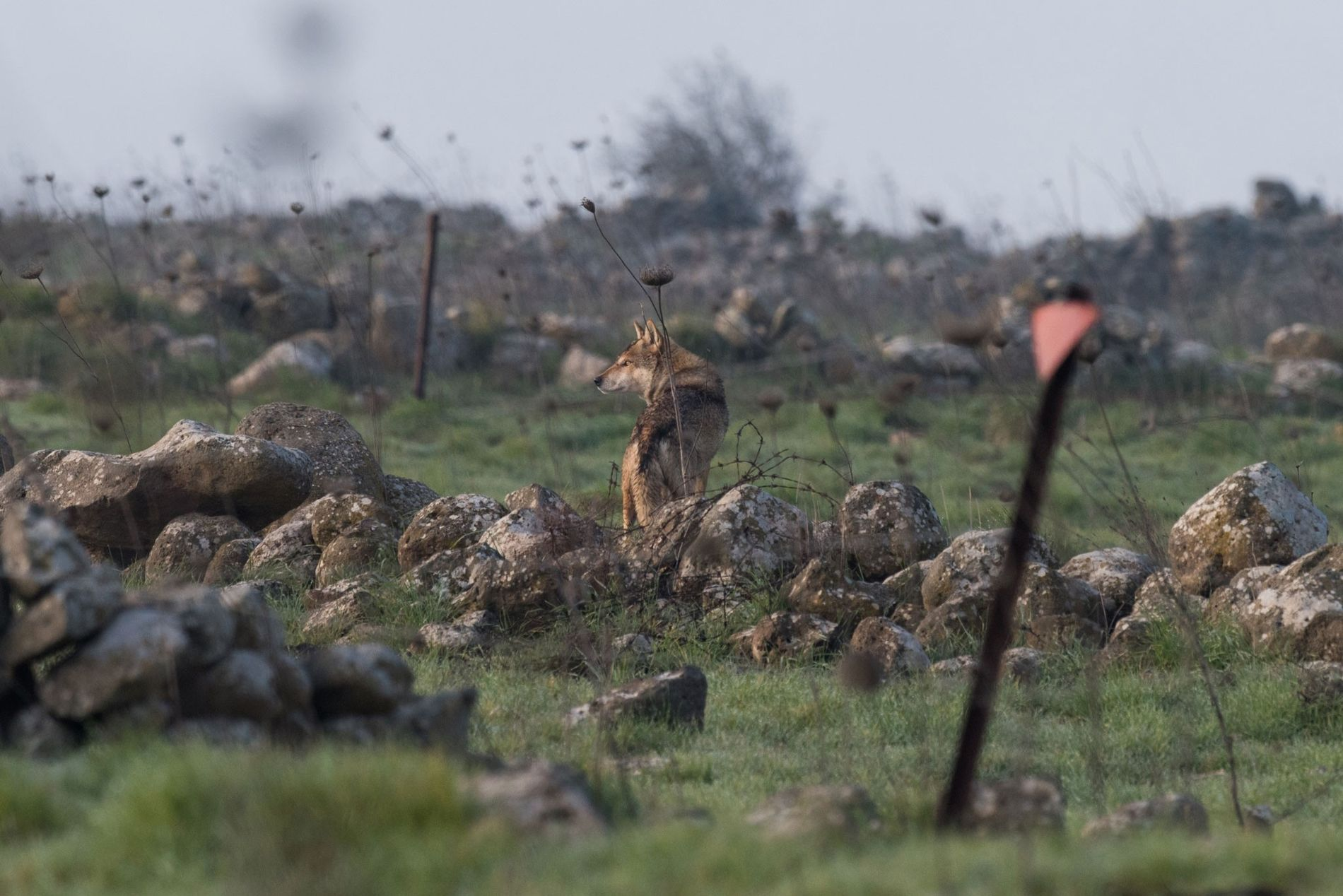 An alpha male Indian wolf, which like its kin survives amidst the minefields of the Golan ...