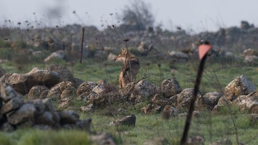 Making peace in the Golan Heights—between humans and wolves