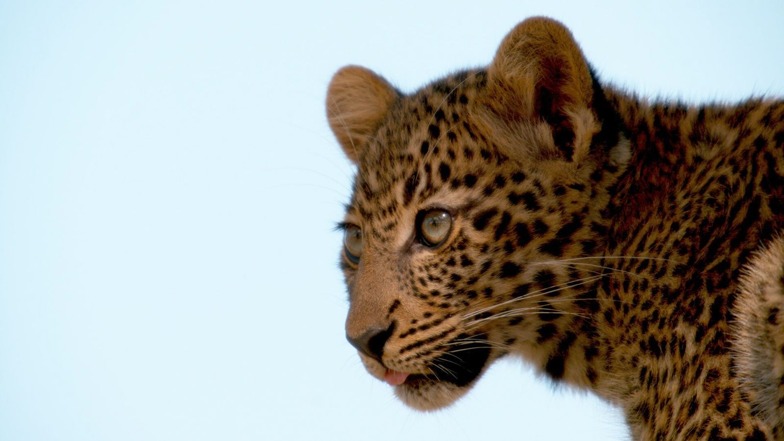 'Toto', the young leopard whose formative years the Jouberts chronicled in their documentary Jade Eyed Leopard.
