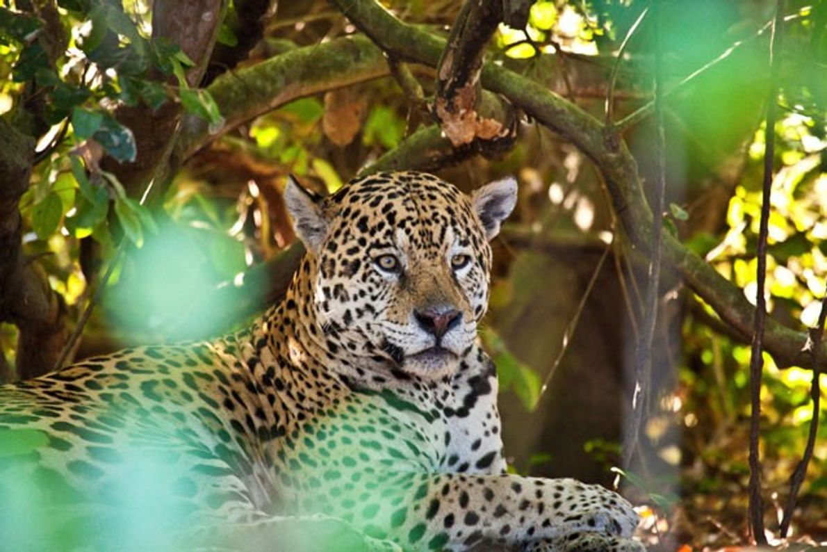 Brazil: On the trail of the jaguar