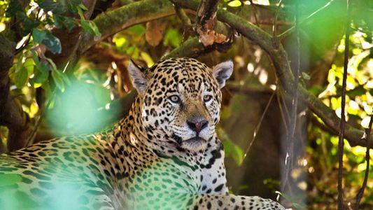 Brazil: On the trail of the jaguar
