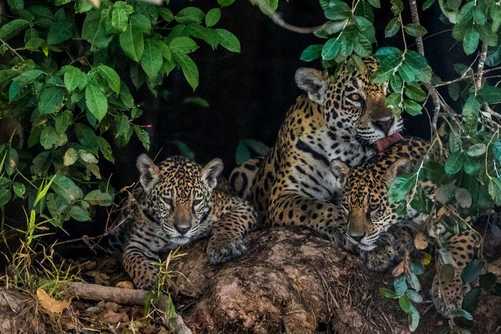 A mother grooms her cubs in the Pantanal. Jaguars mate at any time of year and ...