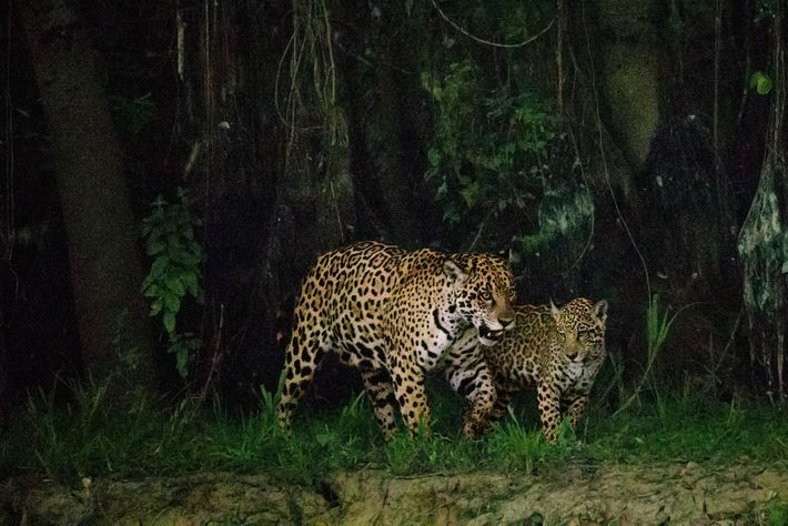 A mother and cub patrol along the Cuiabacute River after dusk; the dim light offers good ...