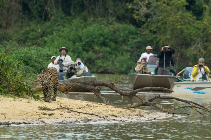 Conservationists are working in parts of Brazil and other areas within the jaguar's range to build ...