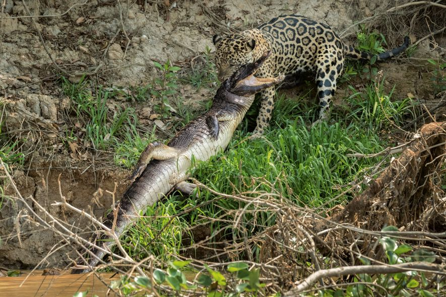 A precision bite to its vulnerable skull quickly turns this caiman into a hearty meal. The ...