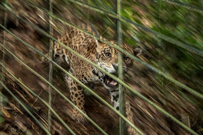 As a cub, this male jaguar was smuggled onto a bus in southern Colombia and was ...