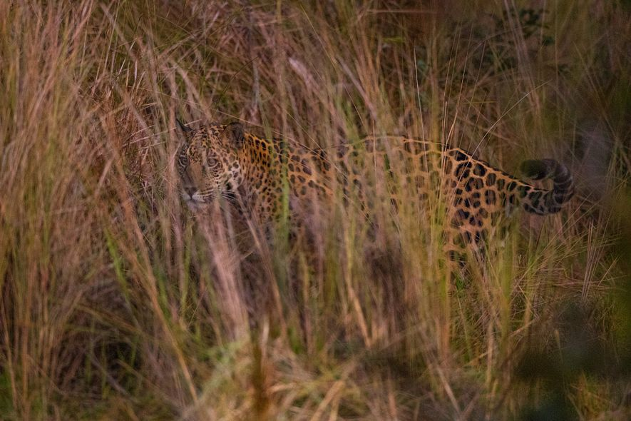 A jaguar scans for prey from the cover of tall grasses in the Pantanal.