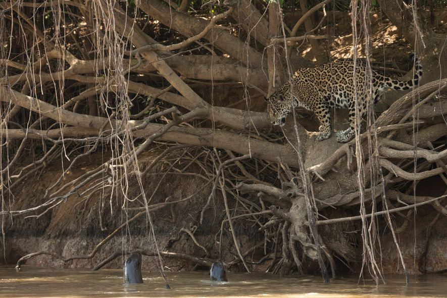 Giant otters in the Pantanal work together to fend off the cats in water; this jaguar ...