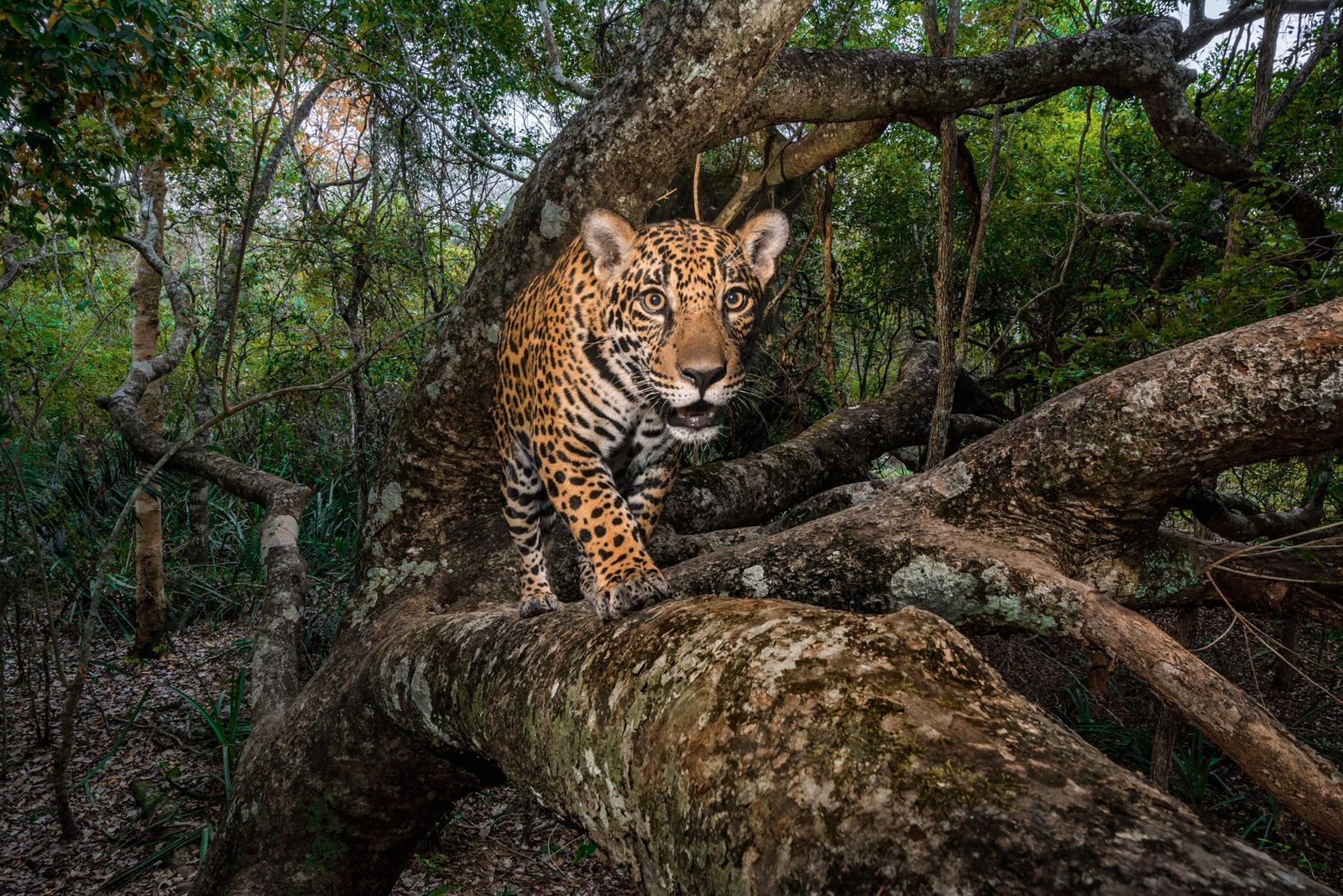 Inside the Hidden World of Jaguars