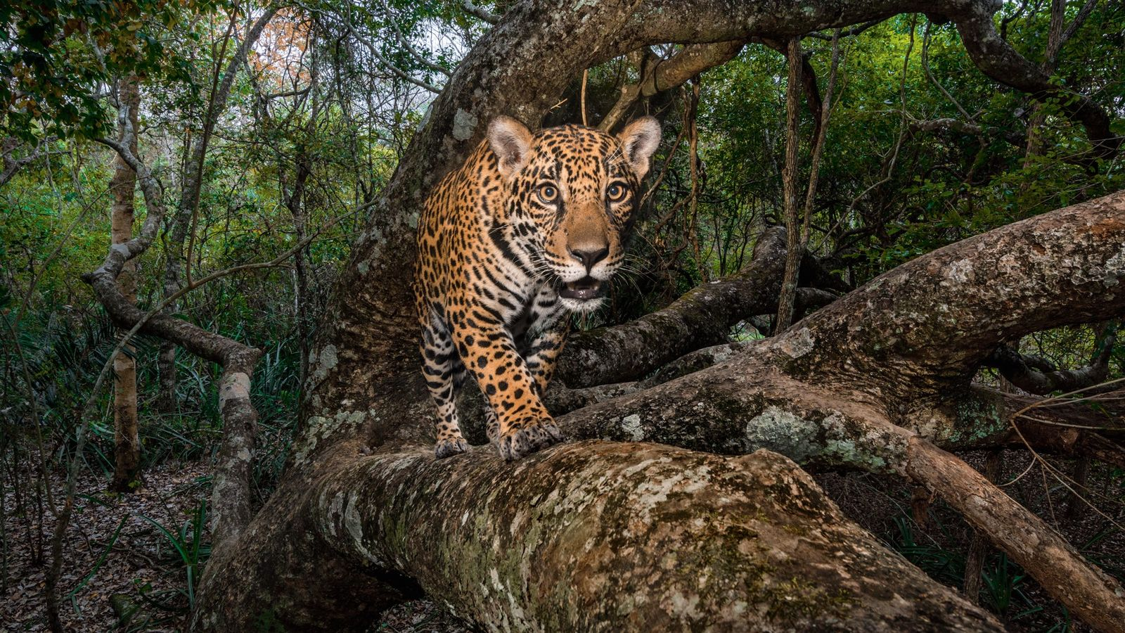 A 10-month-old jaguar cub is caught in the infrared beam of a camera trap as it ...