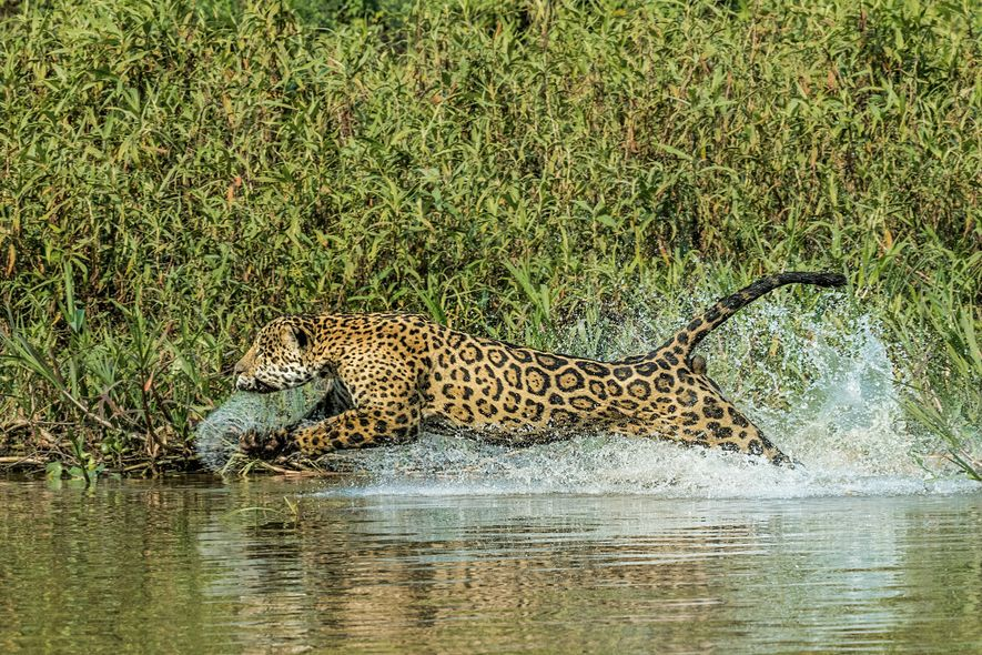 A jaguar chases a caiman in the Pantanal. Given the cats' broad diet and comfort in ...