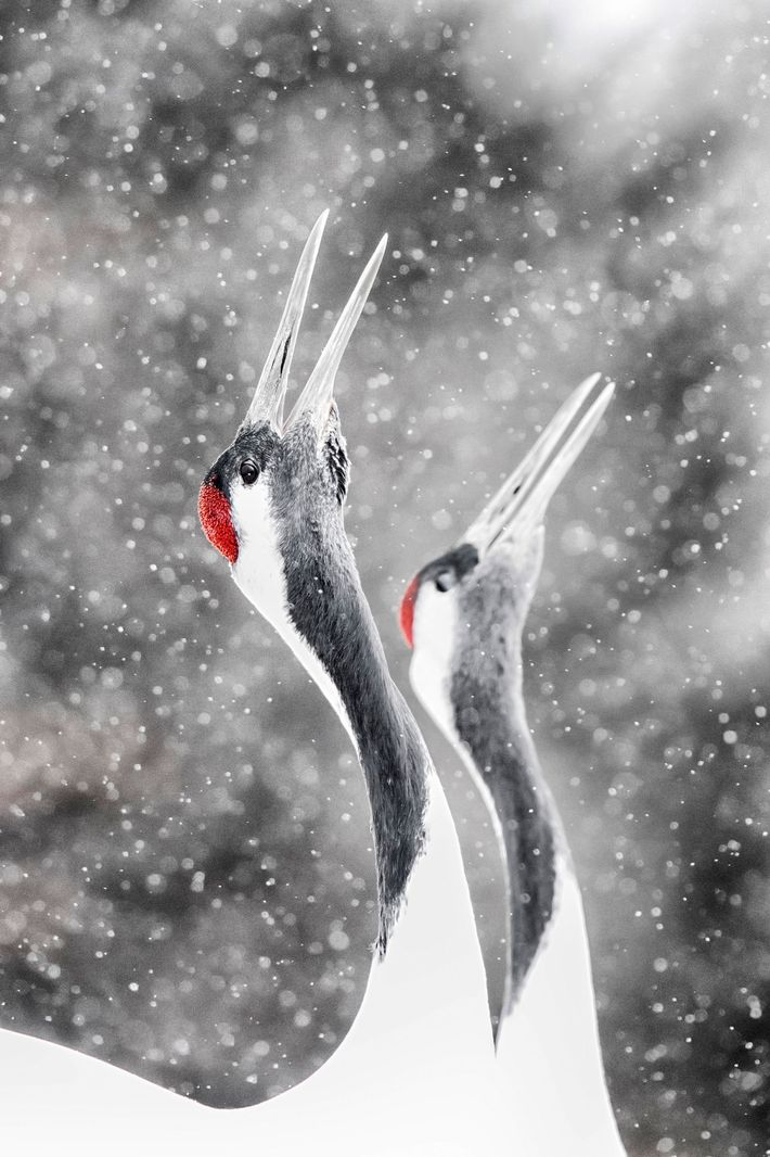 The iconic red crowned crane, seen here in Tsurui Mura, eastern Hokkaido, are one of the ...