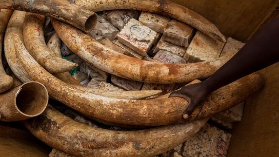 In 2011 authorities in Kenya burned five tons of ivory—including many blank hankos, or name seals, ...