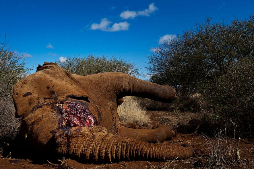 Rangers in Kenya removed the tusks of this bull elephant killed by a spear to prevent ...