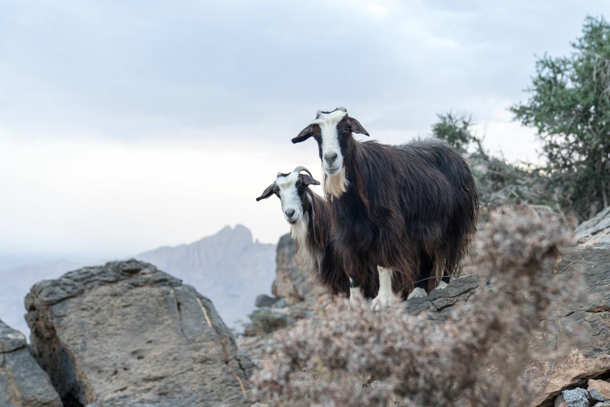 Many families outside of the cities raise livestock such as sheep, goats and camels. Pointing perhaps ...