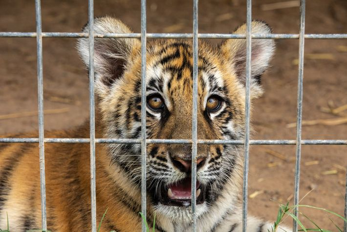 A tiger cub is pictured at G.W. Zoo in September 2018. Cub petting, which was a ...