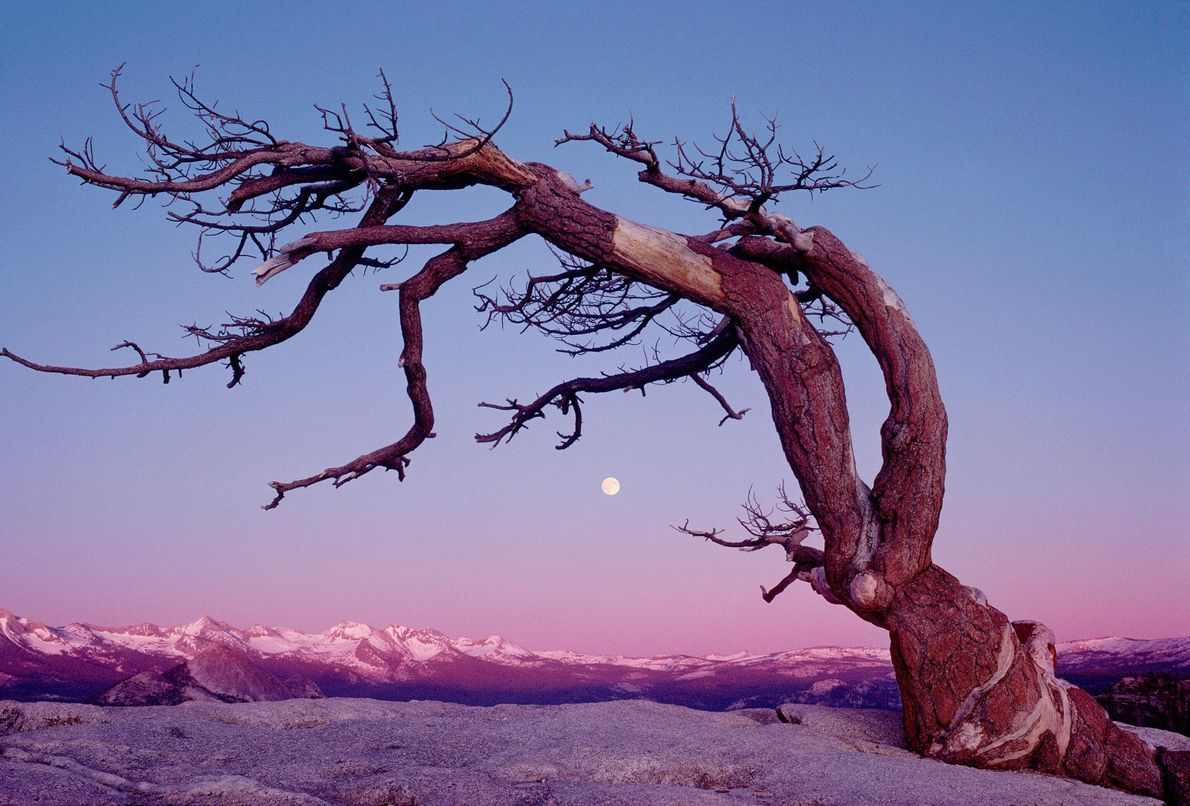 Famous Jeffrey Pine tree (Pinus jeffrey) situated on Sentinel Dome, Yosemite National Park, U.S. A full ...