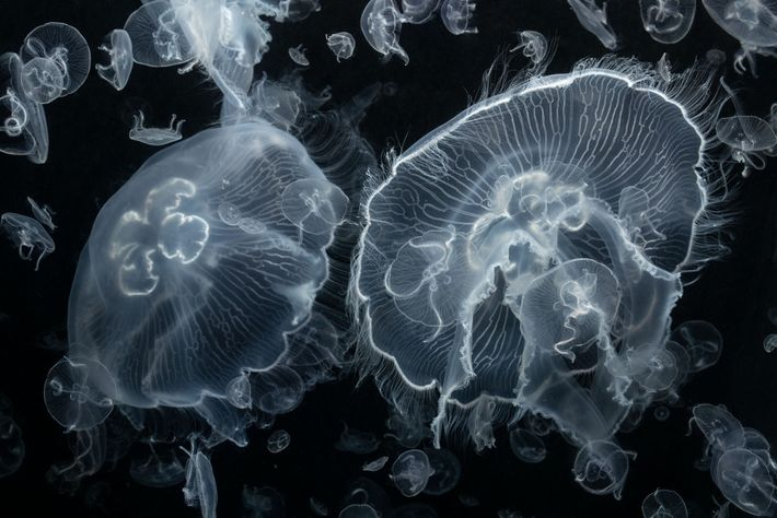 Moon jellies, found all over the world, are named for their otherworldly, translucent bells. The fringe ...